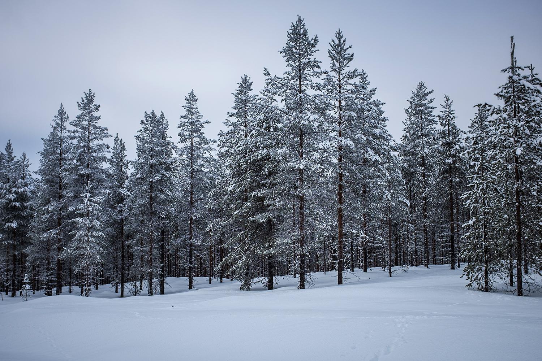 Frozen trees - Hossa Finland