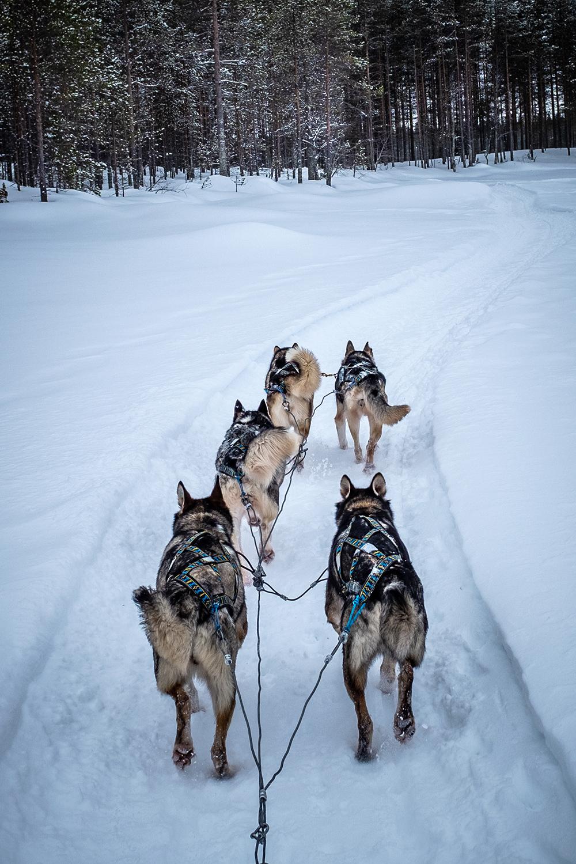 Sled Dog - Hossa Finland