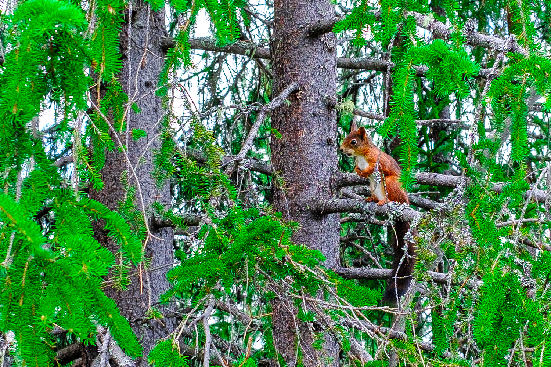 Squirrel Rondane - Norway